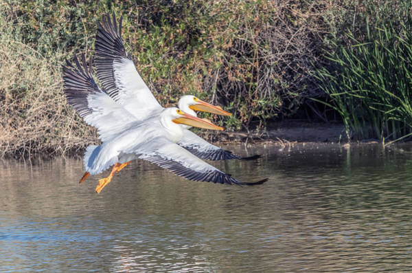 Photograph - American White Pelican 9597-022318-1cr by Tam Ryan