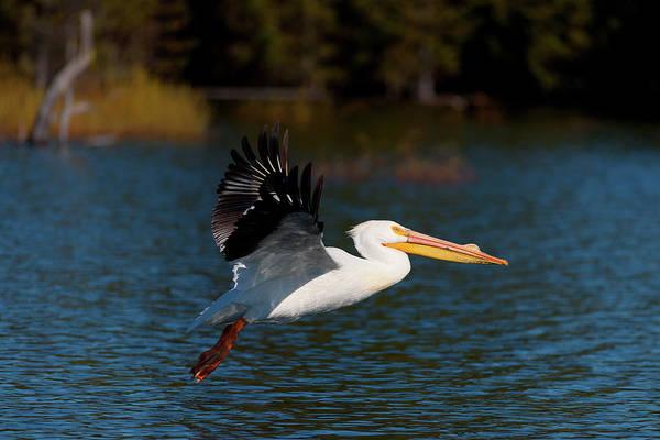 American White Pelican Art Print