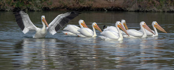 Photograph - American White Pelicans 2783-012218-1cr by Tam Ryan