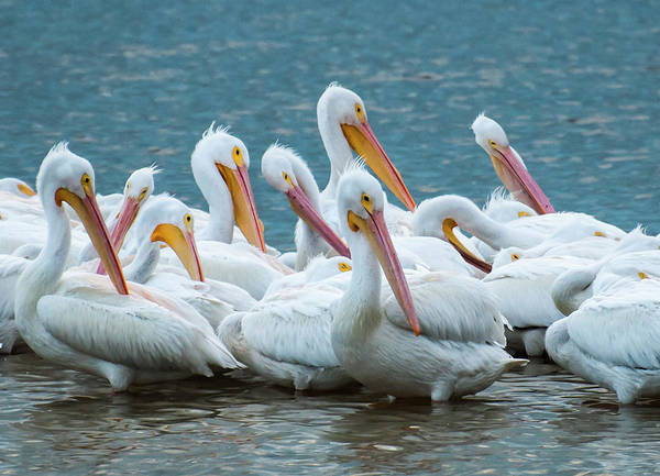 Pelican Island National Wildlife Refuge Wall Art - Photograph - American White Pelicans by Ginger Stein