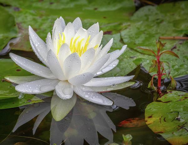 American White Water Lily Art Print