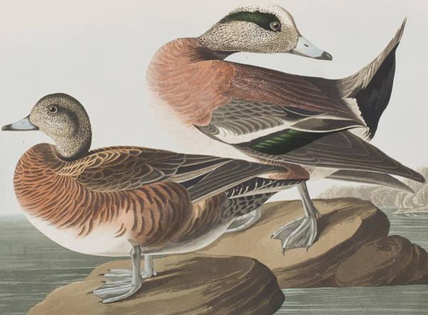 Plate Painting - American Widgeon by John James Audubon