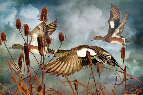 Marsh Bird Digital Art - American Widgeons Coming In by John Williams