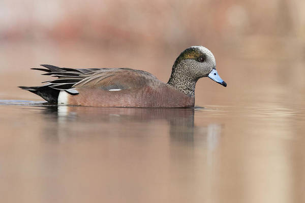 Wall Art - Photograph - American Wigeon Drake by Mircea Costina Photography