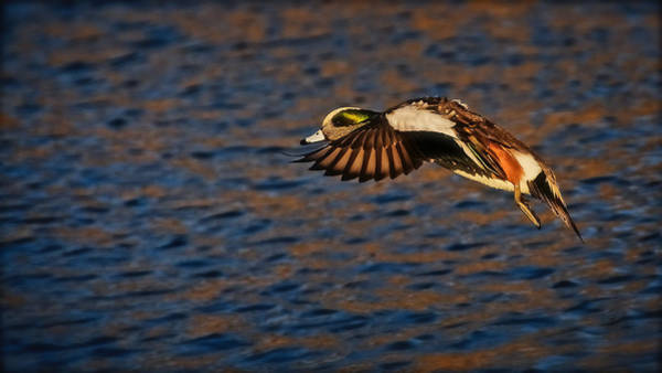 Photograph - American Wigeon In Aerial Navigation by Flying Z Photography by Zayne Diamond