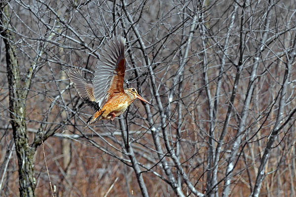 Woodcock Photograph - American Woodcock In Takeoff Flight by Asbed Iskedjian