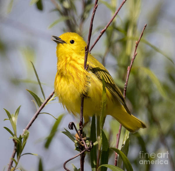 Photograph - American Yellow Warbler by Ricky L Jones