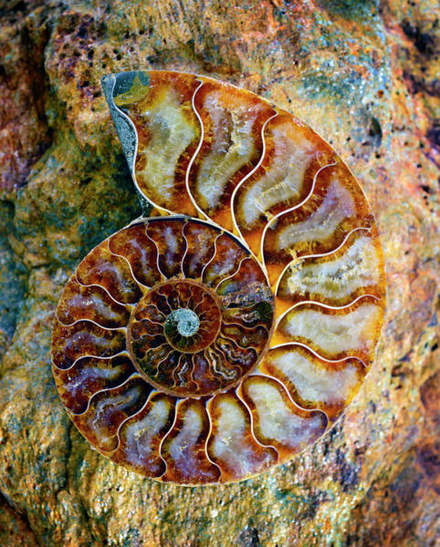 Photograph - Ammonite Fossil - 8313 by Paul W Faust - Impressions of Light