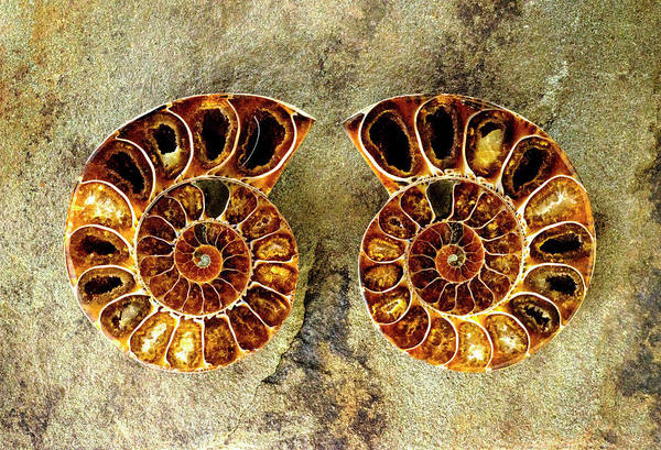Photograph - Ammonite Fossil - 8306 by Paul W Faust - Impressions of Light