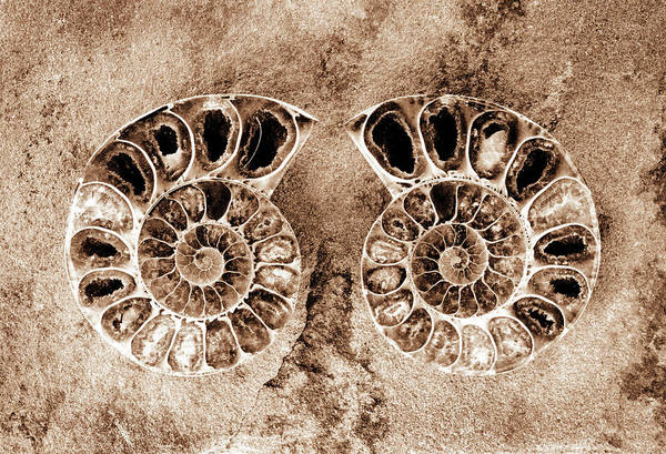Photograph - Ammonite Fossil Pair - 8306-t by Paul W Faust - Impressions of Light