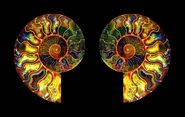 Photograph - Ammonite Fossil - Triptych-5 by Paul W Faust - Impressions of Light