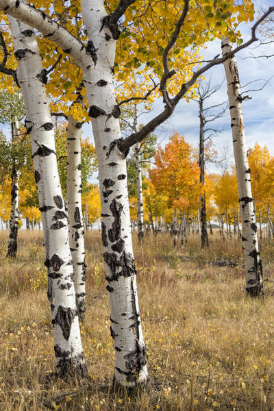 Photograph - Among The Aspens by Denise Bush