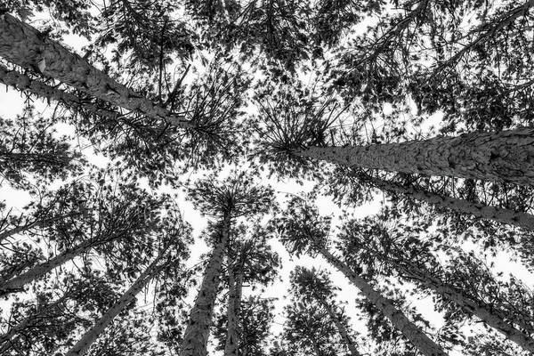 Wall Art - Photograph - Amongst Tall Pines by Heather Kenward