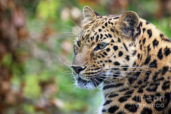 Panthera Pardus Photograph - Amur Leopard Portrait by Jane Rix
