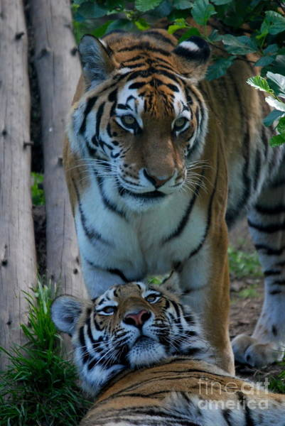 Photograph - Amur Tigress And Grown Cub by Phil Banks