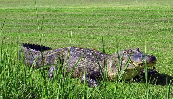 Photograph - An Alligator Resting By The Bank Of The Bayou by Mary Capriole