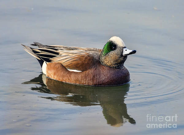 Photograph - An American Wigeon Out For A Stroll by Eddie Yerkish