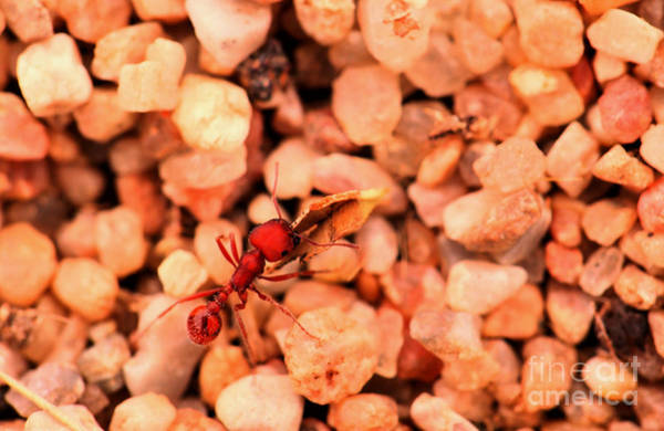 Wall Art - Photograph - An Ant Packing A Leaf Shard by Jeff Swan