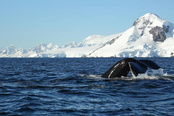 Wall Art - Photograph - An Antarctic Whale Tail by Bruce J Robinson