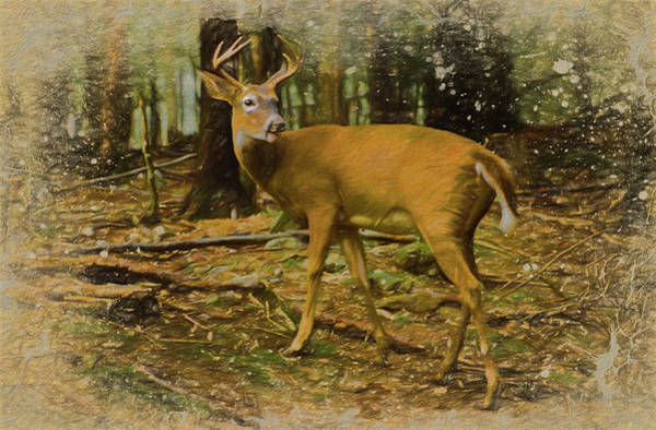 Photograph -    Whitetailed Buck  by Rusty R Smith
