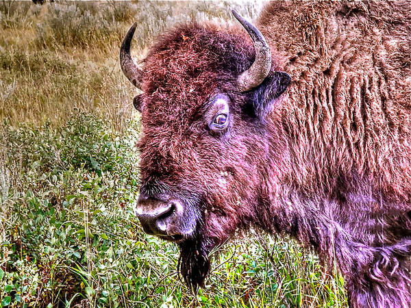 Photograph - An Astonished Bison by Don Mercer