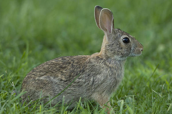 Sylvilagus Floridanus Photograph - An Eastern Cottontail Rabbit  Feeds by Joel Sartore