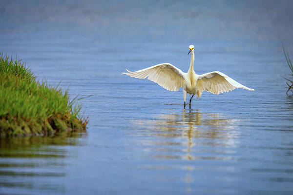 An Egret Spreads Its Wings Art Print