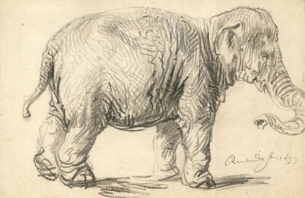 Drawing - An Elephant by Rembrandt