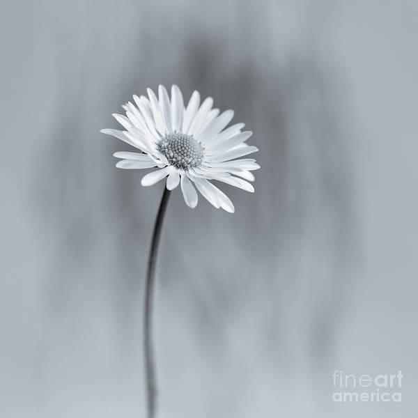 Wall Art - Photograph - an English daisy by Masako Metz