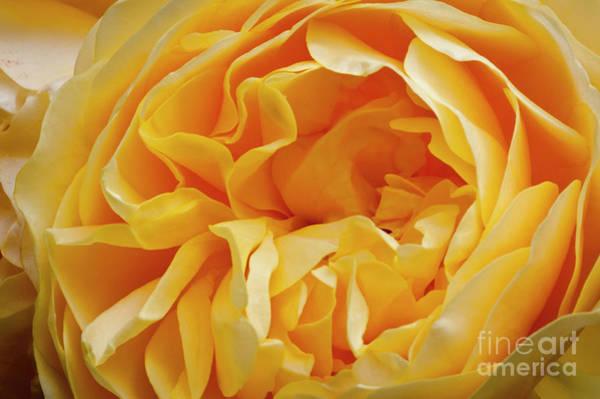 Wall Art - Photograph - An English Rose by Donald Davis