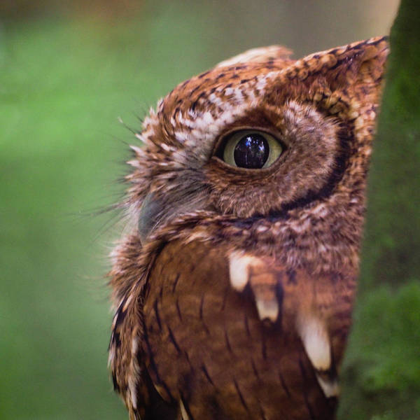 Photograph - An Eyeful From A Burrowing Owl by Robin Zygelman