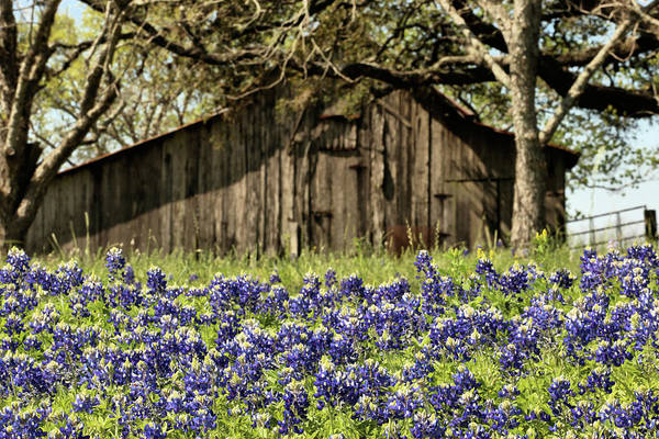 Photograph - An Introduction To The Texas Bluebonnet by JC Findley