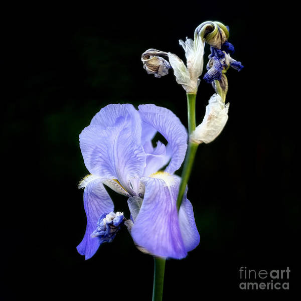 Photograph - An Iris by Patrick M Lynch