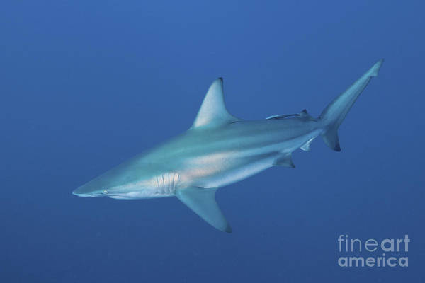 Carcharhinidae Photograph - An Oceanic Blacktip Shark, South Africa by Mathieu Meur