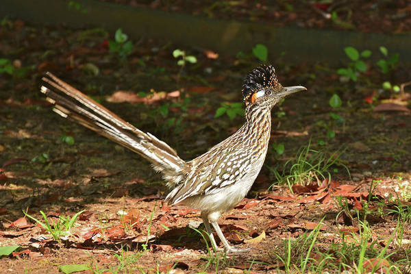 Photograph - An Oklahoma Roadrunner On The Alert by Don Mercer