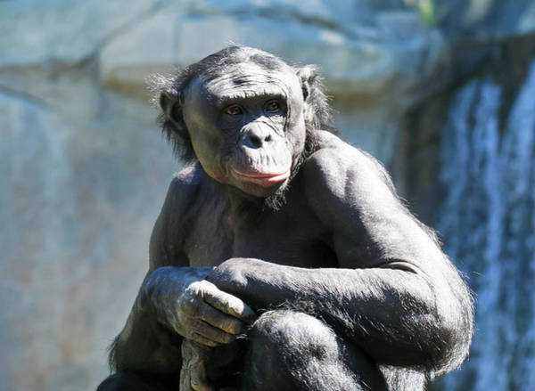 Bonobos Photograph - An Old Bonobo Sits In The Sun by Derrick Neill