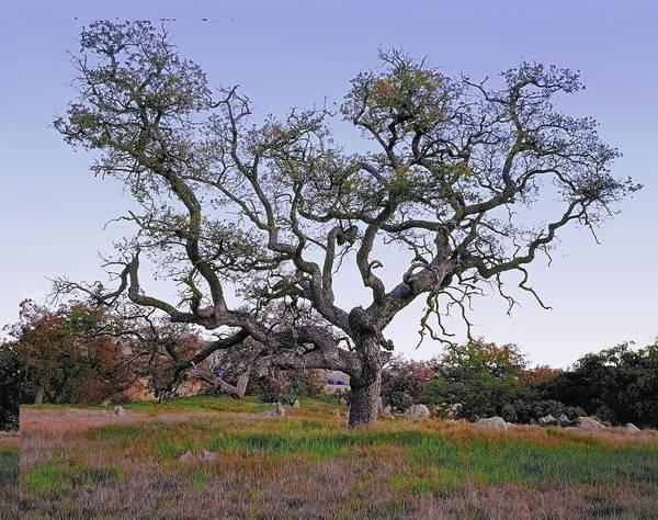 Photograph - An Old Oak Weave by Paul Breitkreuz