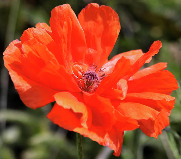 Living Things Photograph - An Olympia Orange Oriental Poppy, Or Papaver Orientale by Derrick Neill