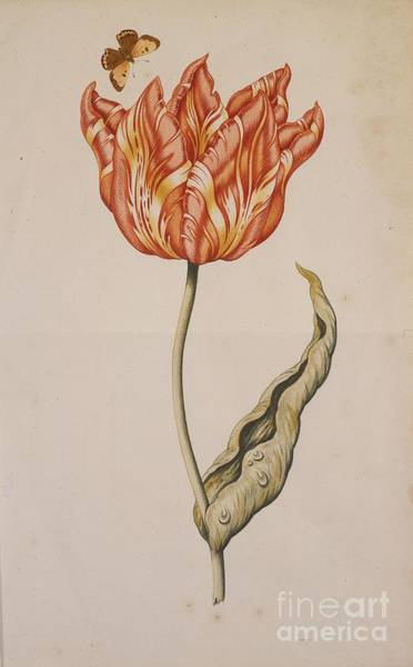 Dutch Tulip Painting - An Orange And Yellow Tulip  by MotionAge Designs