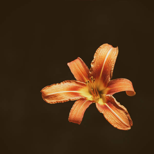 Isolated Wall Art - Photograph - An Orange Lily by Scott Norris