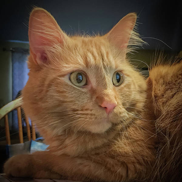 Photograph - An Orange Tabby Portrait by Guy Whiteley