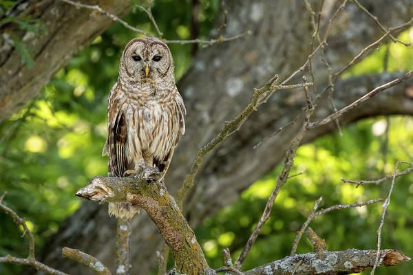 Photograph - An Owl's Gaze by Scott Bean