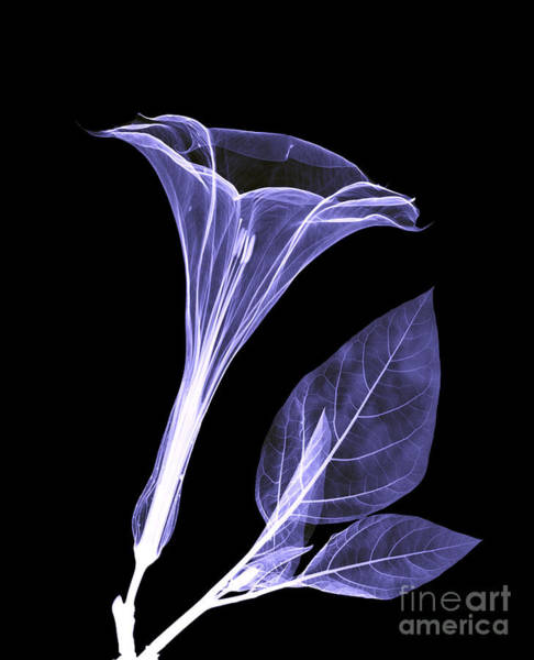 Photograph - An X-ray Of A Datura Flower by Ted Kinsman