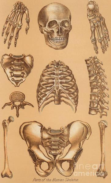 Anatomical Study Of The Human Skeleton, 1896 Art Print