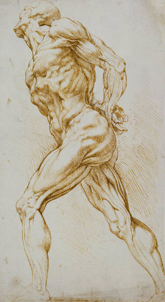 Male Figure Drawing - Anatomical Study by Rubens