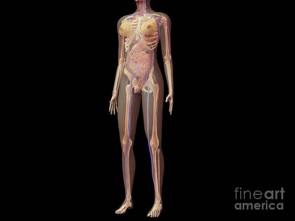 Wall Art - Digital Art - Anatomy Of Female Body With Organs by Stocktrek Images