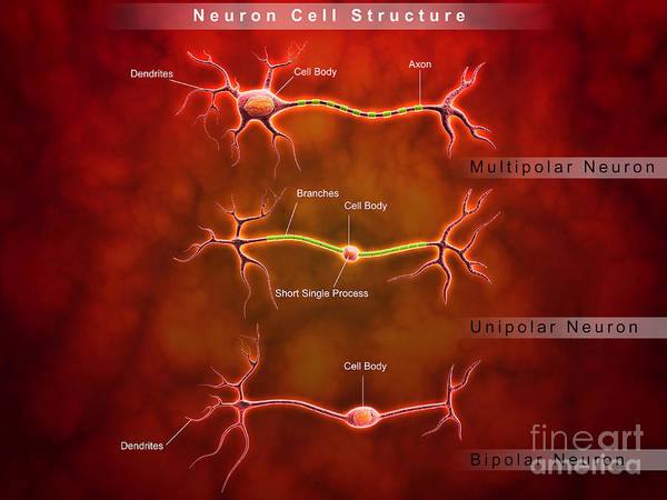 Dendrite Wall Art - Digital Art - Anatomy Structure Of Neurons by Stocktrek Images