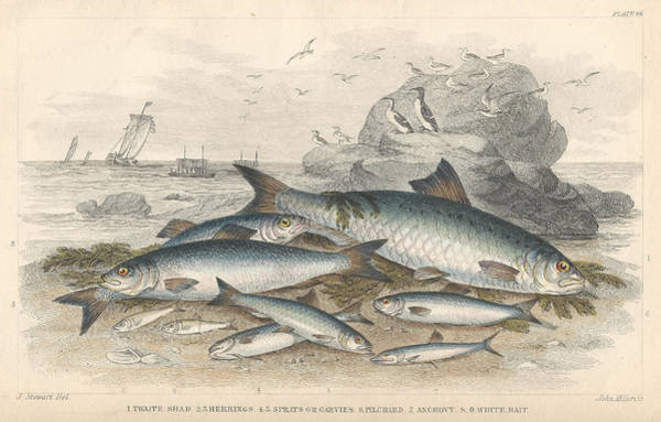 Wall Art - Drawing - Anchovies And Herring by Dreyer Wildlife Print Collections