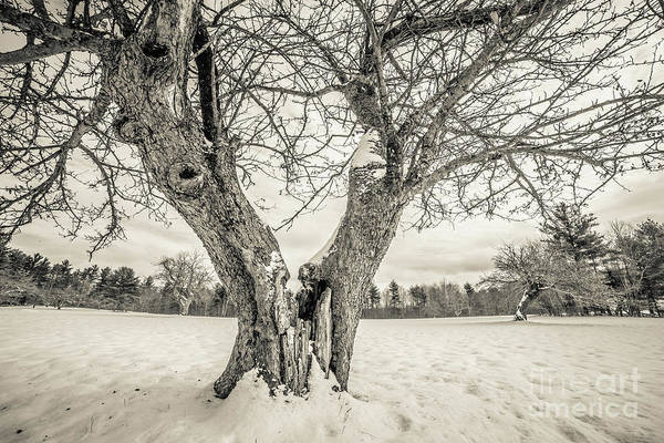 Family Farm Wall Art - Photograph - Ancient Apple Trees In Winter by Edward Fielding