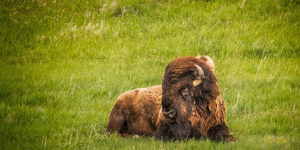 Photograph - Ancient Bison by Rikk Flohr
